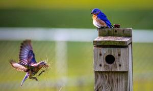 衔来荒草筑巢的俩小鸟摄影高清图片