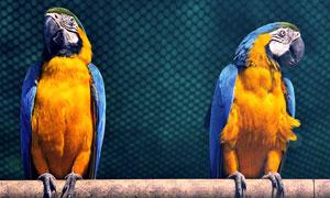 两只闹别扭的金刚鹦鹉摄影高清图片