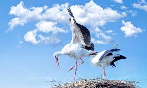 蓝天白云与筑巢的白鹳摄影高清图片