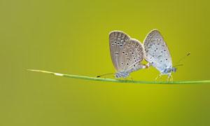 两只在交配的蝴蝶特写摄影高清图片