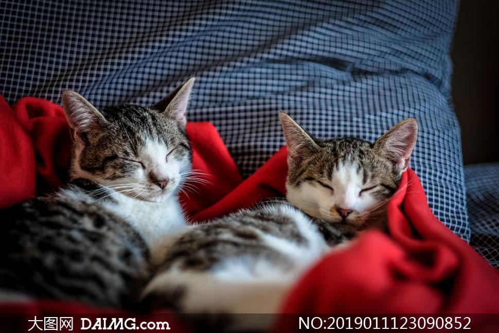 两只睡的很香的小猫咪摄影高清图片
