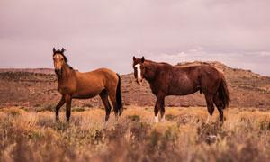 野外山地草丛中的马匹摄影高清图片