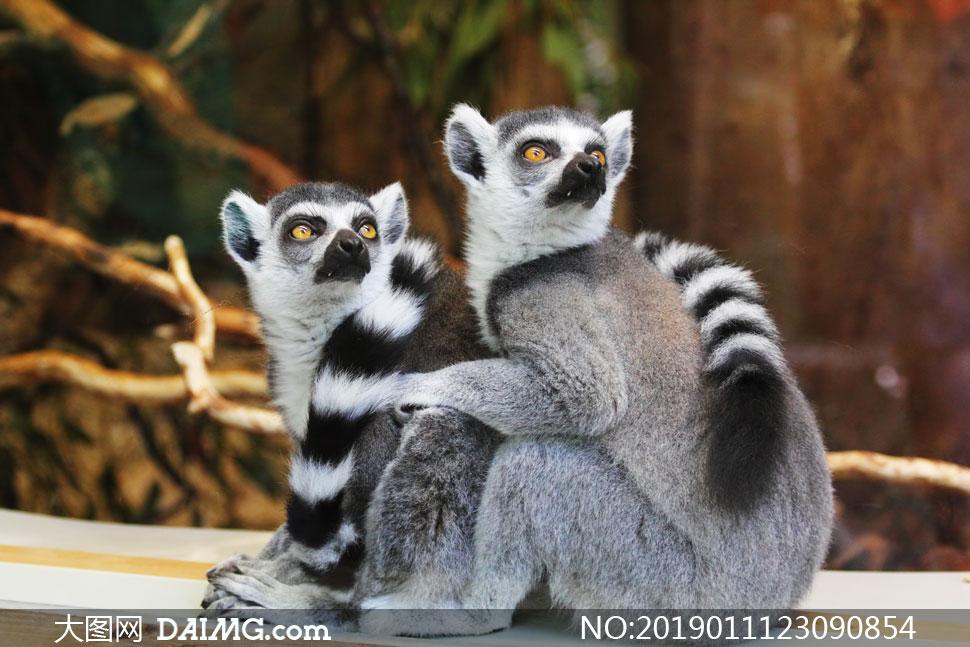 两只抱一起的环尾狐猴摄影高清图片
