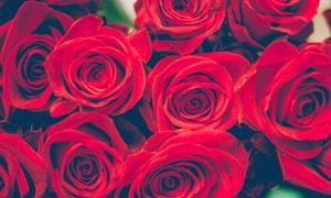 深红色的玫瑰花朵特写摄影高清图片