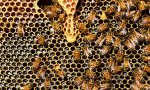 在蜂窝上繁忙工作的蜜蜂们高清图片