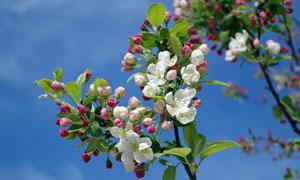 树枝上含苞怒放的花朵摄影高清图片