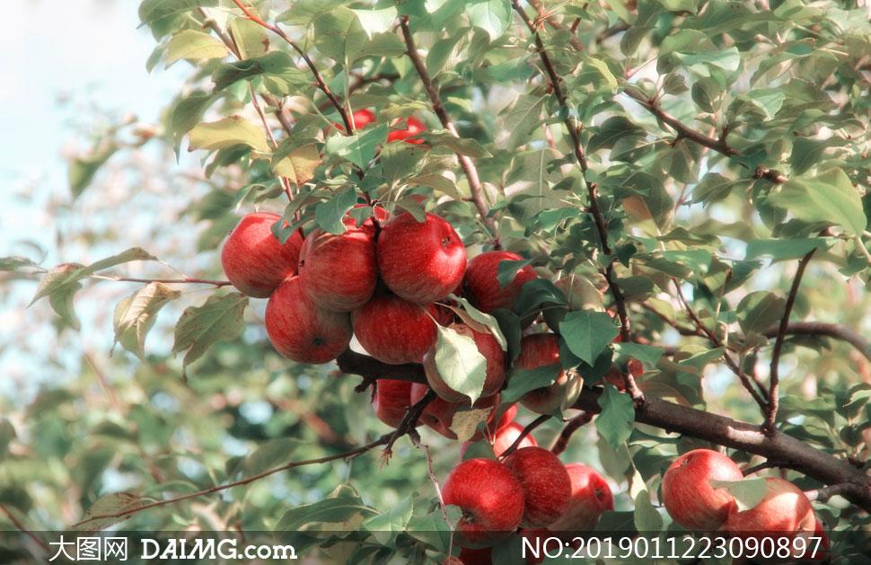 树枝上行的红苹果特写摄影高清图片