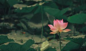 池塘中绽放的荷花特写摄影高清图片