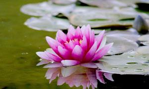 水塘里鲜艳的荷花特写摄影高清图片