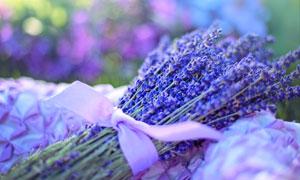 丝带绑好的薰衣草花束摄影高清图片