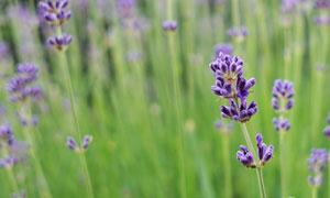 零零散散种植的薰衣草摄影高清图片