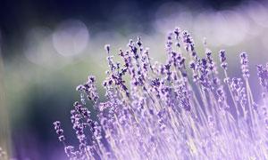 浪漫的紫色薰衣草特写摄影高清图片