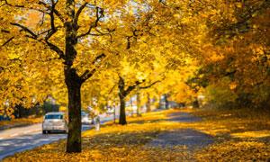 路边被秋色染黄的树木摄影高清图片