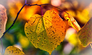 长满了黑斑的树叶特写摄影高清图片