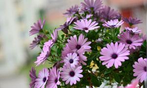 浅紫色的雏菊花朵特写摄影高清图片