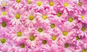 紧密排列的粉红色菊花摄影高清图片