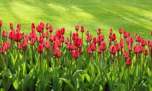 等待绽放的郁金香花卉植物高清图片