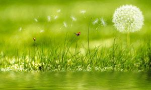 水边的蒲公英植物特写摄影高清图片