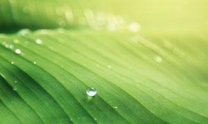 绿色树叶上的露珠特写摄影高清图片