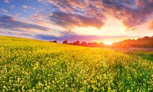 夕阳下的油菜花农田摄影图片