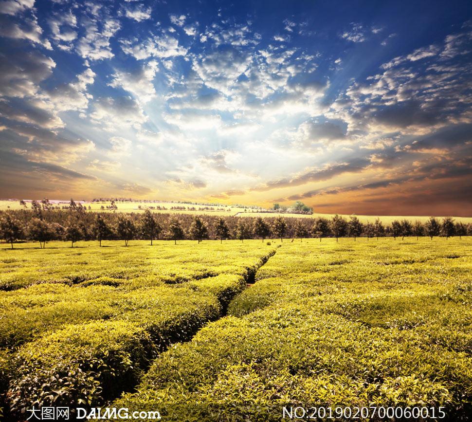 蓝天白云下的茶园景观摄影图片