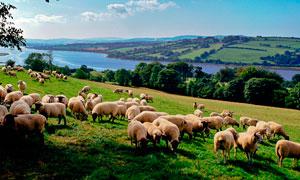 草原上的羊群和田园风光摄影图片