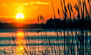 落日下的湖边芦苇丛摄影图片