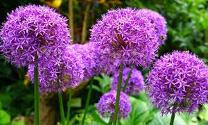 盛开的紫色绣球花特写摄影高清图片