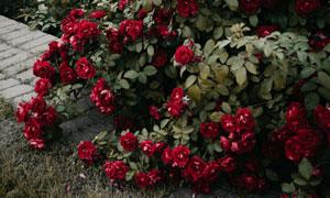 长在路边的红色玫瑰花摄影高清图片
