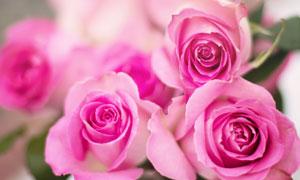 粉红玫瑰花朵微距特写摄影高清图片
