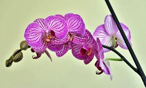 树枝上的紫色兰花特写摄影高清图片