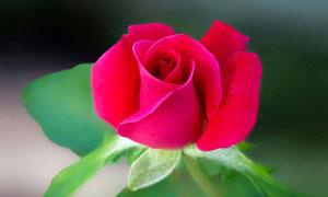 娇艳欲滴的红色玫瑰花摄影高清图片