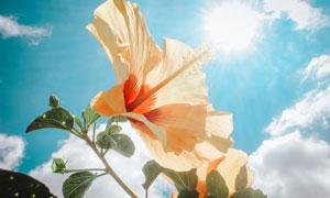 耀眼阳光下的花朵逆光摄影高清图片