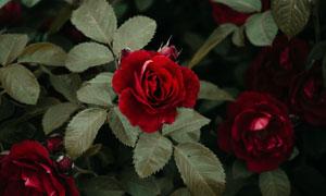 猩紅色的玫瑰植物特寫攝影高清圖片