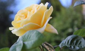 花期怒放的黃玫瑰特寫攝影高清圖片