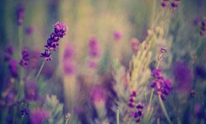 夢幻朦朧效果的薰衣草攝影高清圖片