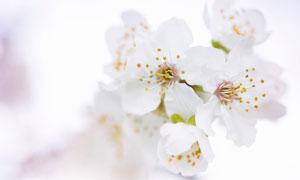 春天里盛開的白色櫻花攝影高清圖片