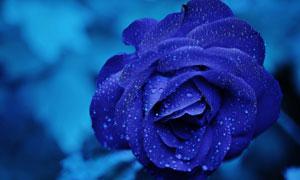 挂满水珠的深蓝色花朵摄影高清图片