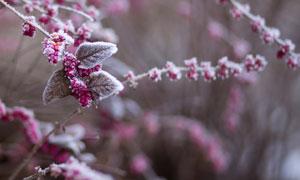冰霜结晶后的树枝果实摄影五百万彩票图片