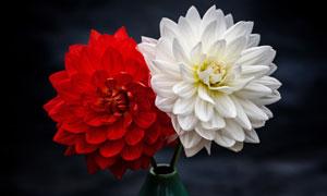 花瓶中的红白两朵鲜花摄影高清图片