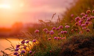 湖边山坡上的鲜花植物摄影高清图片