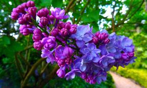 公园枝头上含苞待放的花朵高清图片