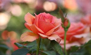 朦朧光斑點綴的玫瑰花攝影高清圖片