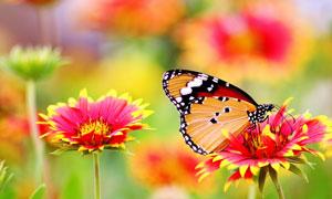 被花香吸引的蝴蝶特写摄影高清图片