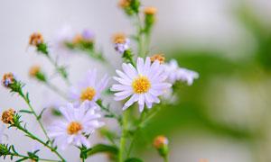 怒放中的白色花朵特写摄影高清图片