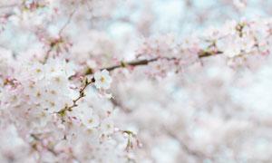 春天里的枝頭櫻花特寫攝影高清圖片