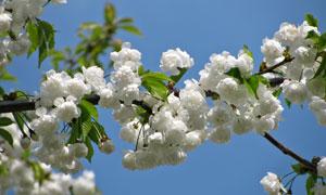 树枝上的朵朵白花仰拍摄影高清图片