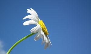 弯着腰的雏菊近景特写摄影高清图片