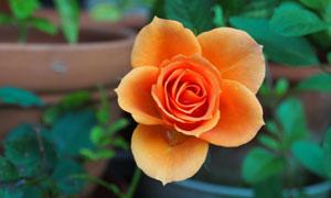 花盆里的玫瑰鮮花特寫攝影高清圖片