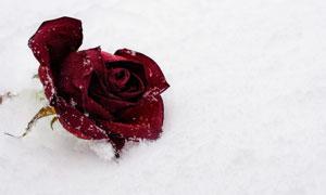 雪地上的红色玫瑰花朵摄影高清图片